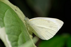 Large White Butterfly - Pieris brassicae at roost on Dogwood Leaf