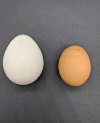 Large white egg from wild muscovy duck lying side by side a brown conventional egg from a free range farm chicken