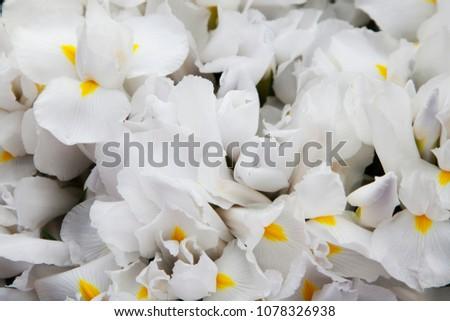Large white flowers. Floristics. Floral background.