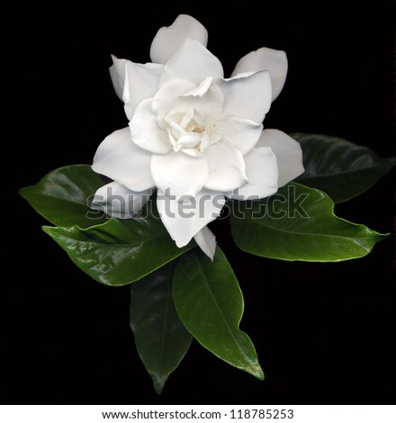 large white gardenia flowers with green leaves on black background