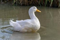 Large white heavy duck also known as America Pekin Duck, Long Island Duck, Pekin or Aylesbury Duck, Anas platyrhynchos domesticus