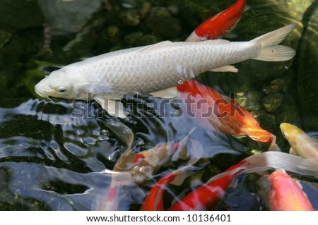 Large white koi with other colorful koi fish stock photo for Large coy fish