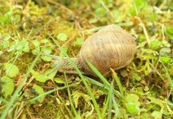 Large white mollusk snails with light brown striped shell, crawling on moss. Snail gliding on the wet grass texture. Helix pomatia, Burgundy snail, Roman snail, edible snail, escargot.