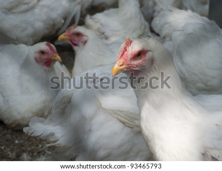 large white poultry