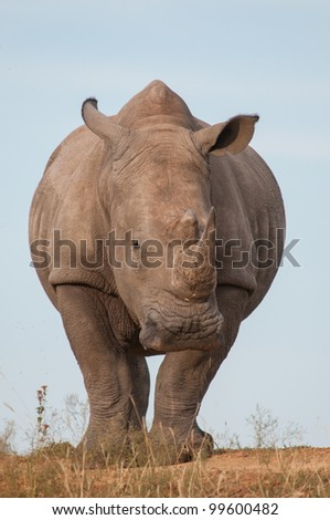 Large white rhino with blue sky