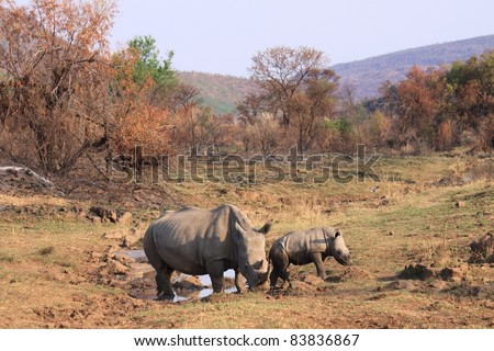 Large white rhinoceros and calf grazing close to a natural waterhole
