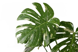 Large white sprinkled leaf of rare variegated tropical 'Monstera Deliciosa Thai Constellation' houseplant with fenestration isolated on white background