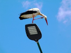 large white stork. black flight feathers and wing coverts, red beak and legs. perched on top of street lamp. low angle view. blue sky.  Ciconia ciconia. migratory wading bird. scratching head concept