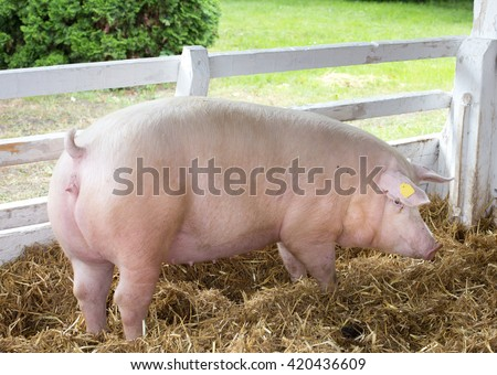 Large white swine (Yorkshire pig) standing on straw in pen with grass and greenery in background on farm #420436609