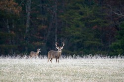 Large white-tailed deer buck in a frost covered meadow with autumn color in the background