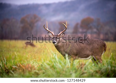 Large white-tailed deer buck standing in an open meadow