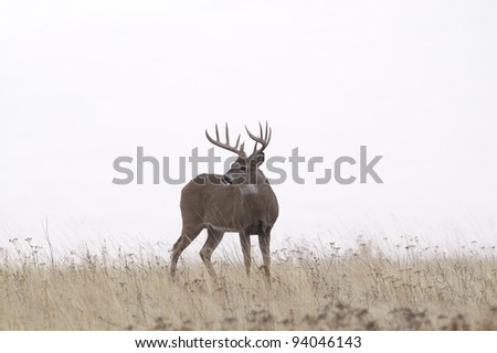 Large Whitetail Buck Against White Sky