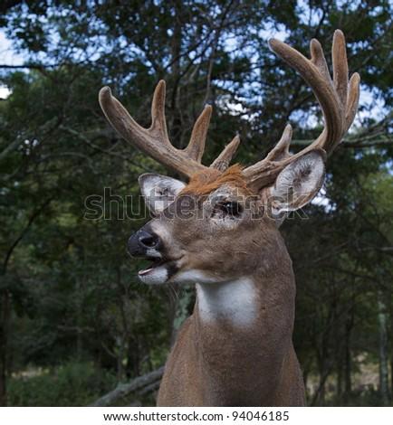 Large Whitetail Buck in Velvet