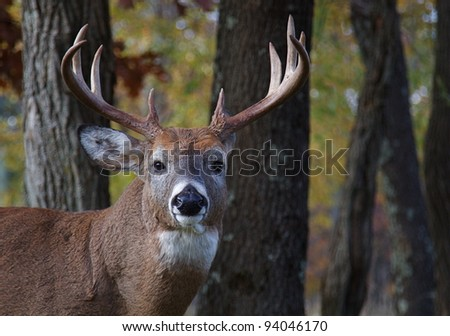 Large Whitetail Buck, Portrait with Woodland Background