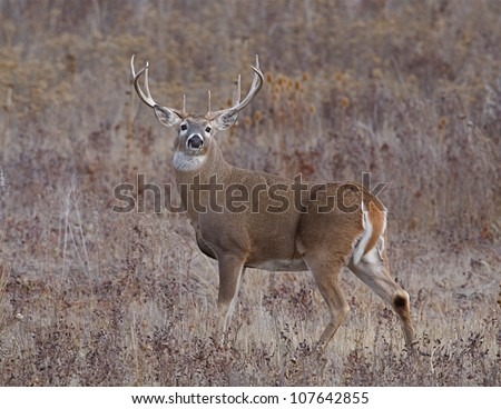 Large Whitetail Buck standing alert, with head turned to face camera