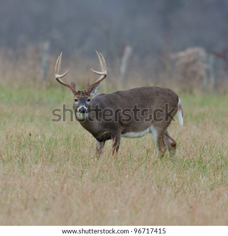 Large whitetailed deer buck standing in a meadow on foggy morning