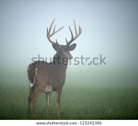 Large whitetailed deer buck standing in an open meadow during heavy morning fog