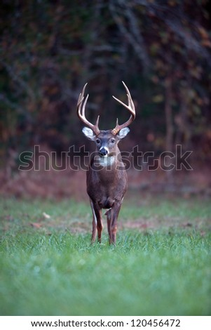 Large whitetailed deer feeding in an open meadow