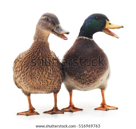 Large wild ducks on a white background.