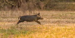 large wild feral hog, pig or swine (sus scrofa) sow running in an open field in central Florida, in evening yellow light, dry grass background, nuisance animal, destructive, apparent mother
