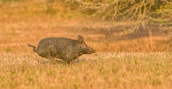 large wild feral hog, pig or swine (sus scrofa) sow running in an open field in central Florida, in evening yellow light, dry grass background, nuisance animal, destructive