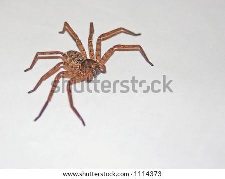 White spider bite