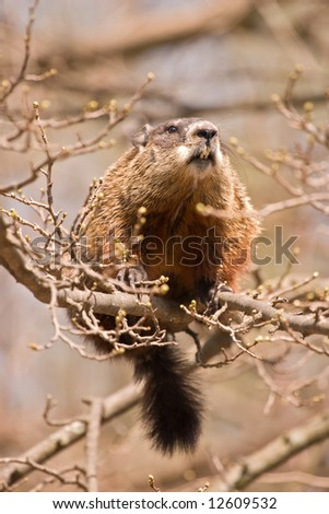 Large woodchuck sitting on a perilously thin branch
