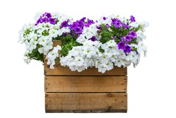 Large wooden pot of petunias isolated on white. Large wooden pot of petunias isolated on white. Large wooden pot of petunias isolated on white. Large wooden pot of petunias isolated on white
