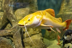 Large yellow fish in the Kazan Aquarium. Tourist places of Kazan. The redtail catfish, Phractocephalus hemioliopterus, is a pimelodid (long-whiskered) catfish. The close-up.