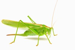 large yellow-green grasshoppers with big whiskers on a white background