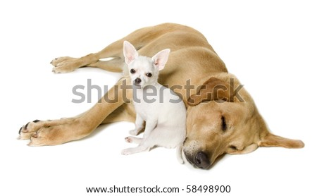 yellow lab puppies sleeping. stock photo : Large yellow