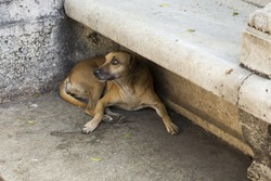 Large yellow labrador-type dog lying under a stone bench in Havana looking up pleadingly