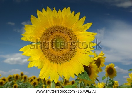 Large Yellow Sunflower