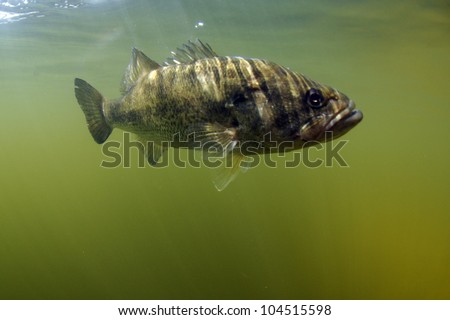 Largemouth bass fish underwater in ocean in natural habitat