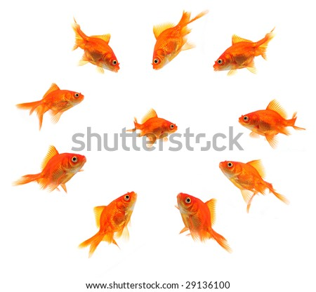 goldfish. stock photo : larger goldfish