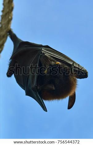 Shutterstock Largest Species of Bat - Large Flying Fox (Pteropus vampyrus)