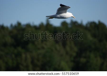 Larinae mewa seagull Zdjęcia stock ©