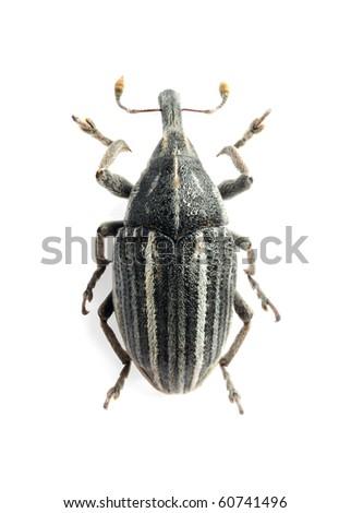 Larinus ursus