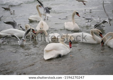 Larus and swans feed on the Black Sea. Background of defocused birds / Larus and swan /. Selective focus of the larus.