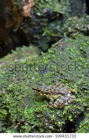 Larut Torrent Frog on mossy rock
