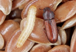 Larva and beetle of confused flour beetle Tribolium confusum known as a flour beetle on flax seeds. high magnification.