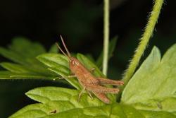 Larva of a Field grasshopper (Chorthippus apricarius) on a leaf