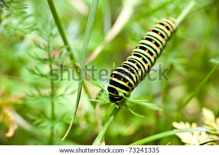 Larva of a swallowtail butterfly (papilio machaon)