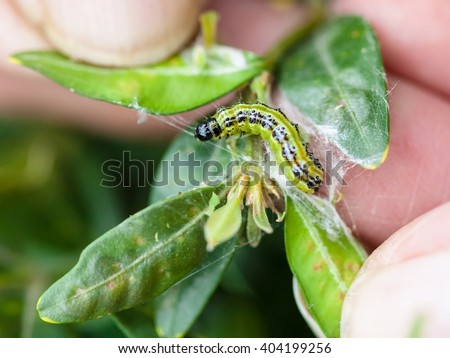 larva of insect pest (Cydalima perspectalis or the box tree moth) in boxwood leaves in garden