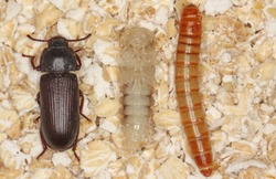 larva pupa and beetle of mealworm beetle Tenebrio molitor, a species of darkling beetle pest of grain and grain products as well as home products
