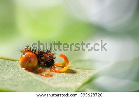 Larvae of orange caterpillars (Golden Birdwing),Orange caterpillar on green leaf in nature #595628720