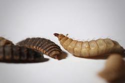 Larvas de mosca de soldado negro aisladas en fondo blanco (gusanos Phoenix)