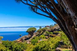 Las tricias trail and its beautiful dragon trees in the town of Garafia in the north of the island of La Palma, Canary Islands