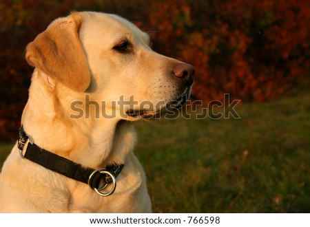 Late afternoon portrait of a labrador retriever enjoying the warm autumn sunrays