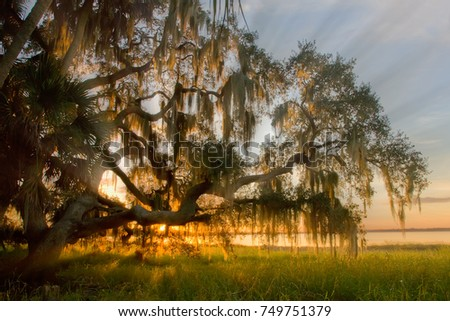 Late afternoon sun rays shining though moss covered tree in Myakka River State Park in Florida